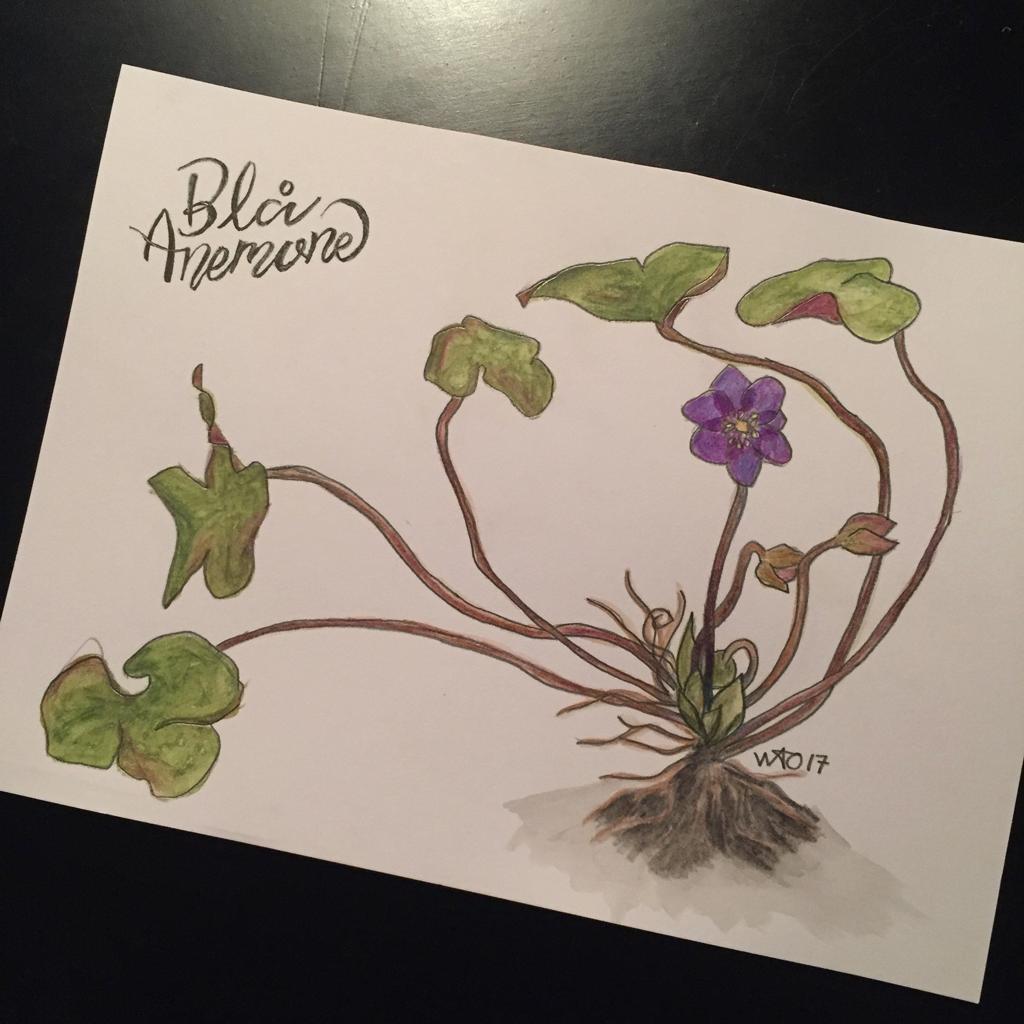 blå anemone akvarel illustration illustrator